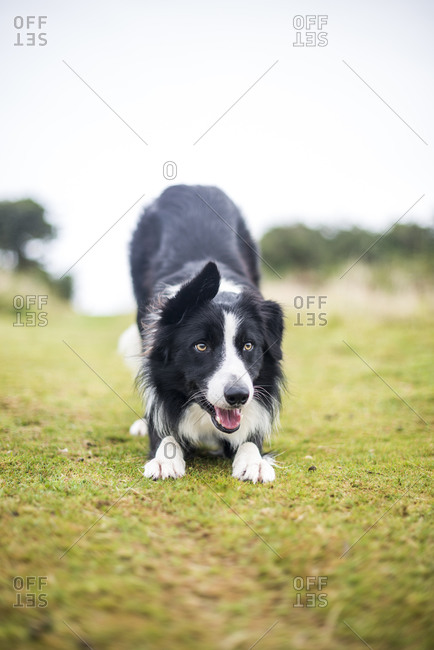 A Border Collie dog playing in the grass