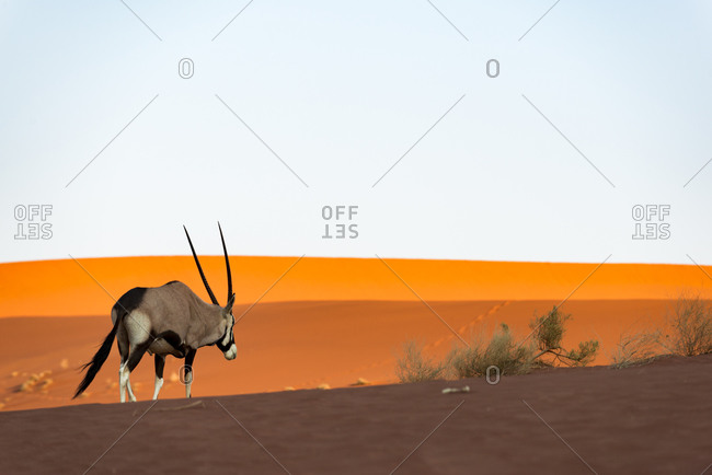 An Oryx or Gemsbok crosses sand dunes near Deadvlei in Namibia