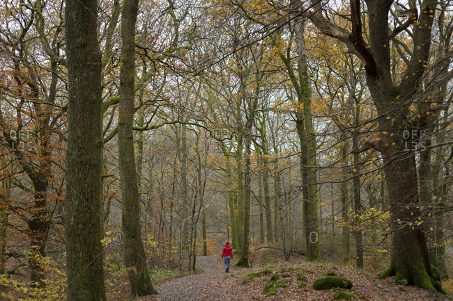 A woman walking on a trail through Baneriggs forest near Grasmere in the English Lake District in Autumn