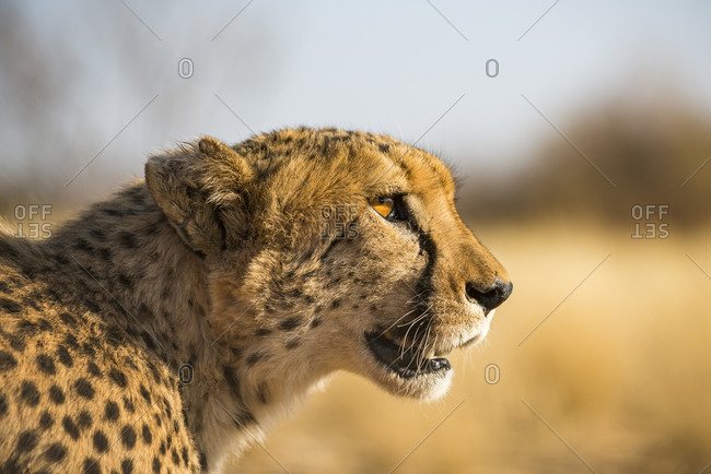 A Cheetah on the desert plains in Southern Namibia stalks prey