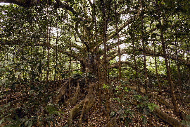 Large tree with massive roots and vines in the forest