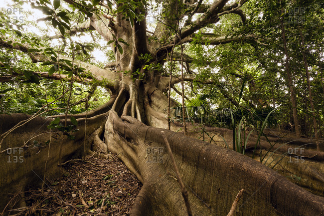 Close up of massive roots on a large tree with vines in the forest
