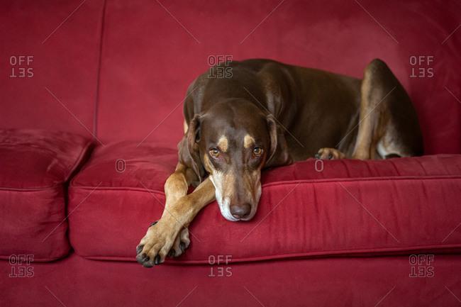 Brown dog relaxing on a red velvet sofa