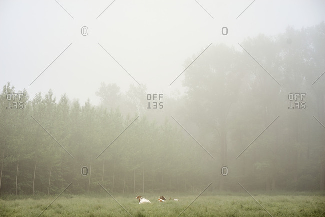 Cows resting in a grassy meadow surrounded by woodlands in the fog