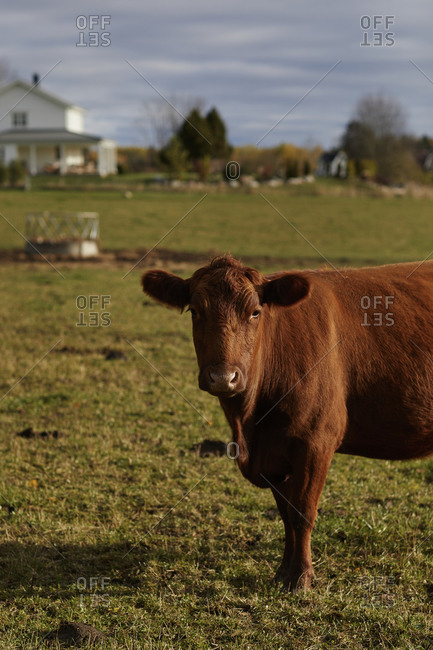 Domestic cattle in pasture - Offset Collection