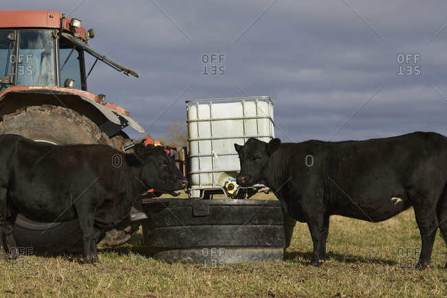 Two cattle in field drinking water from large container