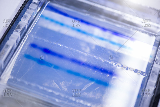 DNA sequencing gel in glass tray at laboratory