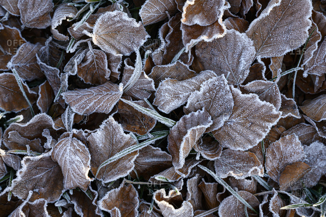 Brown frosted leaves lying outdoors