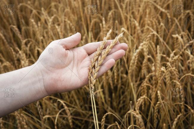 Hand of man examining growing oat