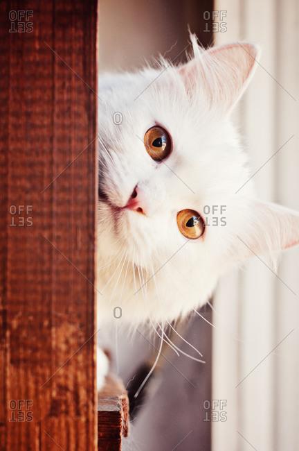 Beautiful Curious White Cat Peeking