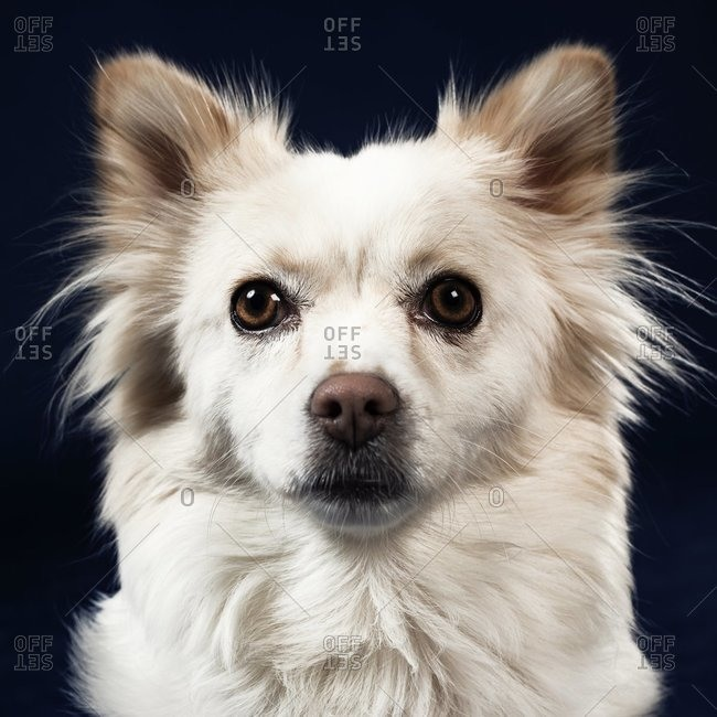 fluffy dog with brown eyes