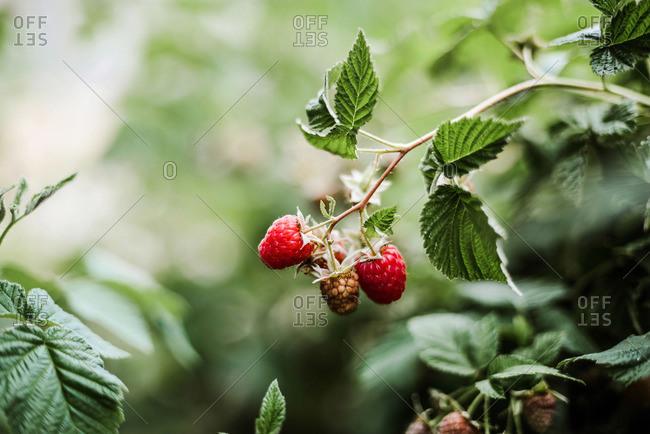 Red raspberry on the vine.