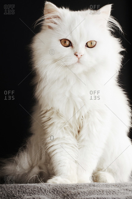 Full length portrait of a fluffy white cat