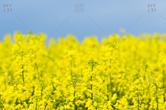 Detail of rapeseed plant, Hodonin District, South Moravian Region, Moravia, Czech Republic