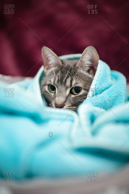 Cute young cat covered in a light blue blanket with purple background