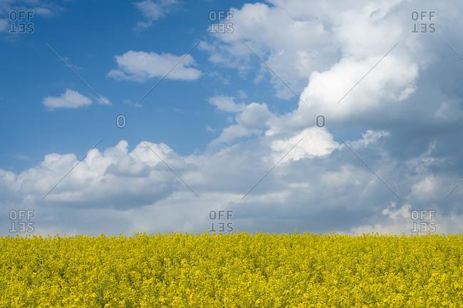 Scenic view of field with rapeseed near Kyjov, Hodonin District, South Moravian Region, Moravia, Czech Republic