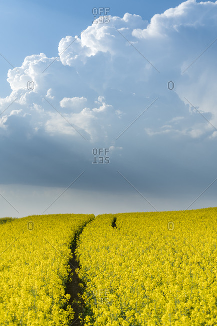 Scenic view of field with rapeseed near Kyjov, Hodonin District, South Moravian Region, Moravia, Czech Republic