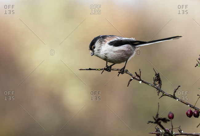 Long-tailed tit, Aegithalos caudatus, autumn portrait. The bird sits on a branch on a uniform background