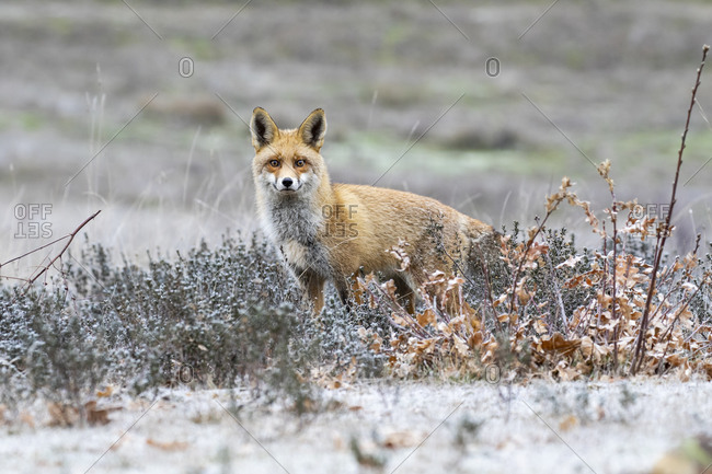Wild mammal, Beautiful red fox, vulpes vulpes, looking at camera in meadow in winter on snow