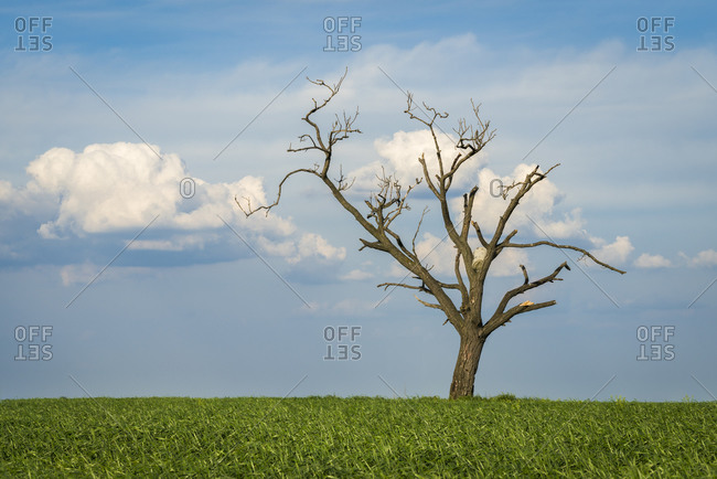 Scenic view of solitary tree amongst fields near Kyjov, Hodonin District, South Moravian Region, Moravia, Czech Republic