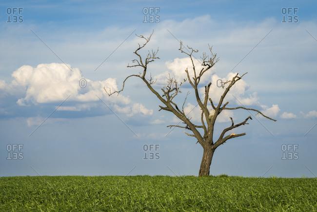 Scenic view of solitary tree amongst fields near Kyjov, Hodonin District, South Moravian Region, Moravia, Czech Republic