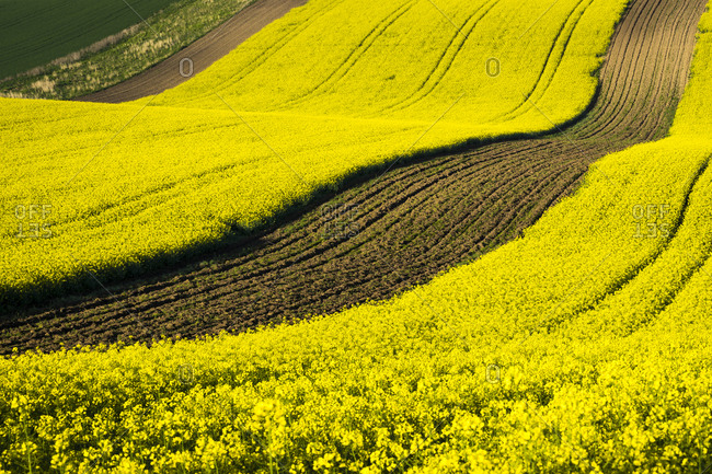 Scenic view of rolling field with rapeseed near Kyjov, Hodonin District, South Moravian Region, Moravia, Czech Republic