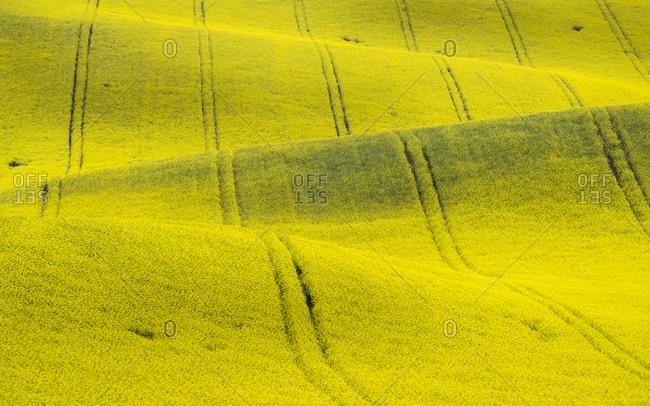 Scenic view of rolling field with rapeseed near Kyjov, Hodonin District, South Moravian Region, Moravia, Czech Republic