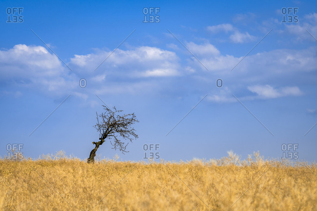 Scenic view of solitary tree in field near Kyjov, Hodonin District, South Moravian Region, Moravia, Czech Republic