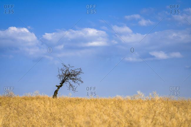 Scenic view of solitary tree in field near Kyjov, Hodonin District, South Moravian Region, Moravia, Czech Republic