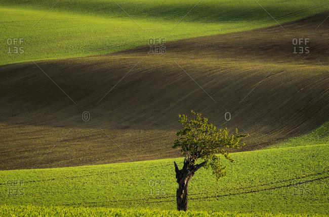 Idyllic view of solitary tree against rolling fields near Kyjov, Hodonin District, South Moravian Region, Moravia, Czech Republic
