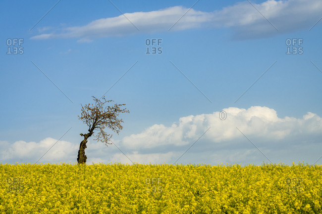 Idyllic view of solitary tree amongst fields with rapeseed near Kyjov, Hodonin District, South Moravian Region, Moravia, Czech Republic