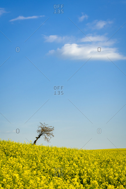 Idyllic view of solitary tree amongst fields with rapeseed near Kyjov, Hodonin District, South Moravian Region, Moravia, Czech Republic