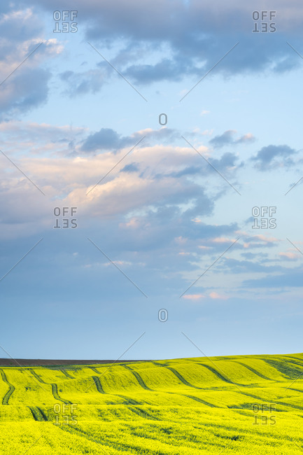 Scenic view of rolling field with rapeseed near Kyjov at sunset, Hodonin District, South Moravian Region, Moravia, Czech Republic