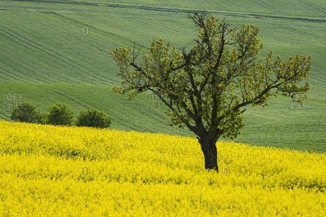 Idyllic view of solitary tree amongst rolling fields with rapeseed near Kyjov, Hodonin District, South Moravian Region, Moravia, Czech Republic