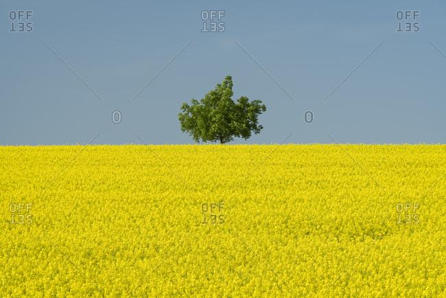 Idyllic view of solitary tree in rapeseed field against clear blue sky near Kyjov, Hodonin District, South Moravian Region, Moravia, Czech Republic