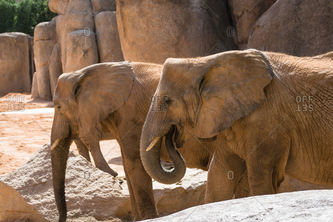 Close-up of two african elephants