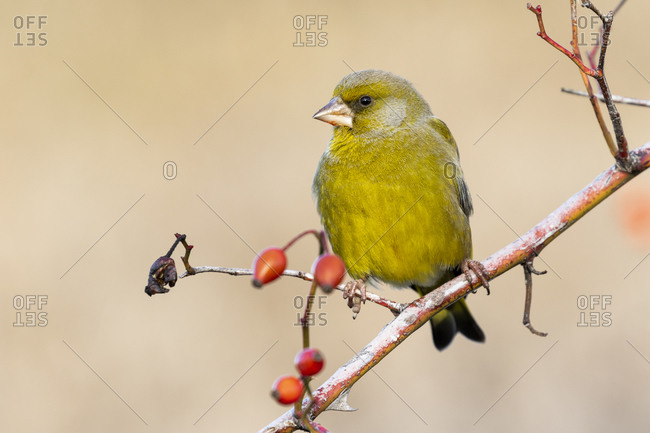 European greenfinch (chloris chloris) on a forest branch with red berries on an unfocused background