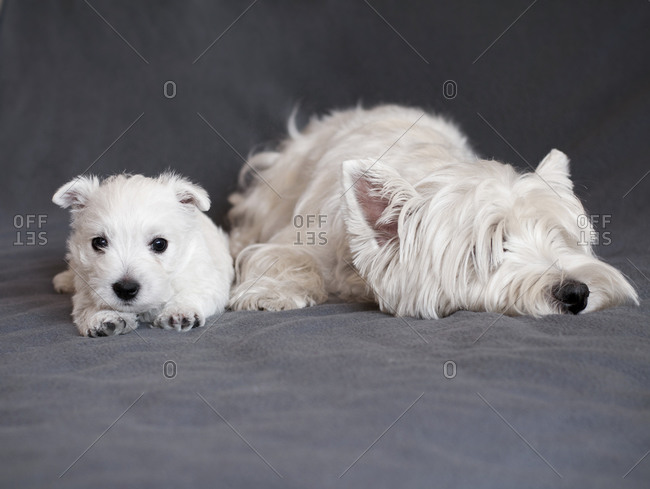 Mother and puppy West Highland White Terrier