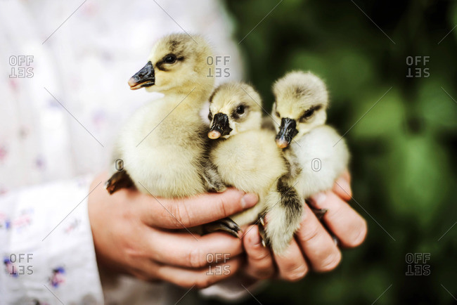 woman with goslings standing outdoors