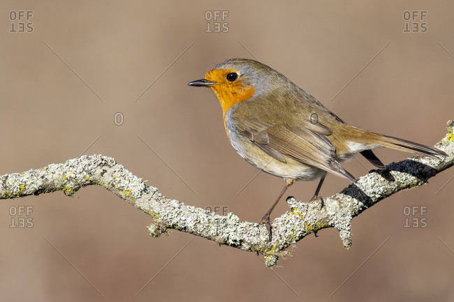 European Robin (Erithacus rubecula) sitting on a branch with lichens on a uniform ocher background