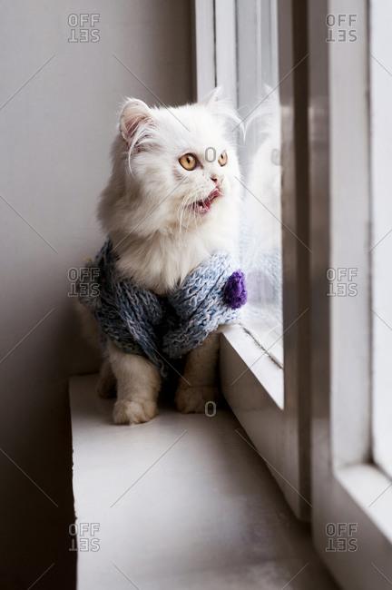 Cat wearing jumper in window licking