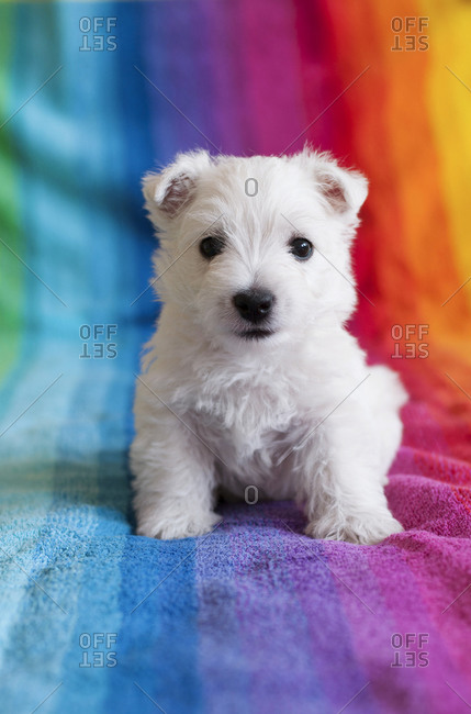 Adorable West Highland White Terrier puppy