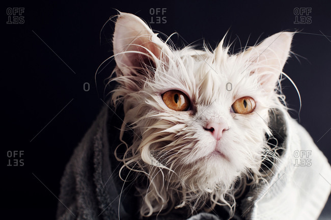 Wet cat wrapped in a towel