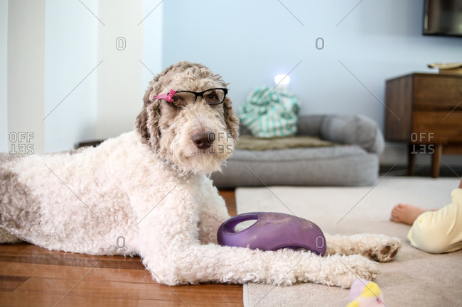 large brown and white dog wearing glasses looking directly at camera