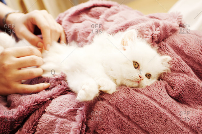 Fluffy white kitten lying on woman's lap