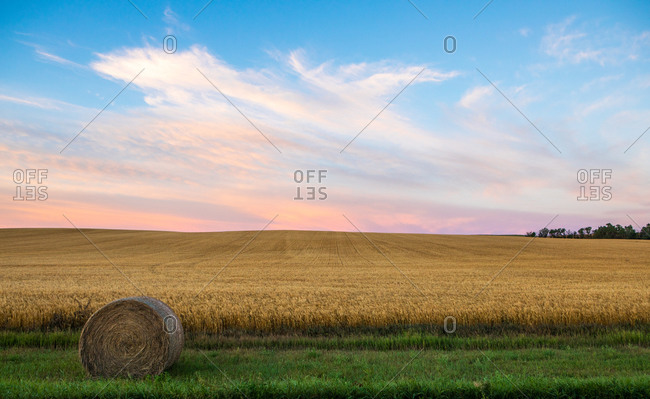 Wheat growing in North Dakota field with hay