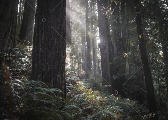 Dewy Redwood forest in California