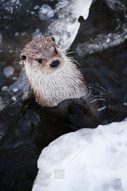 Sea otter partly submerged in water