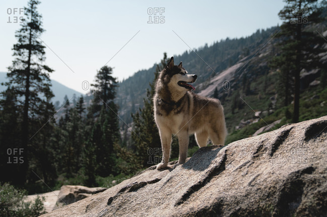 Husky dog in the mountains