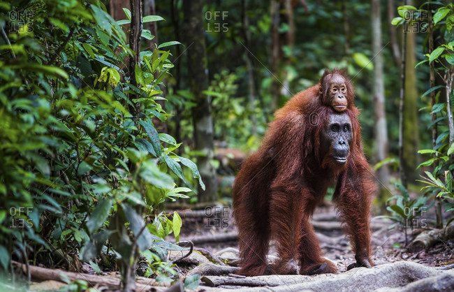 Orang utan with baby walking in forrest